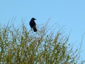 2013 09 16 Crow